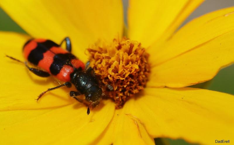 Clairon des abeilles sur oeil de jeune fille.
