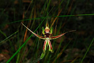 Photo: Caladenia attingens