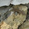 Skyros wall lizard (Σαύρα της Σκύρου)
