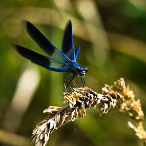 Libellule bleue by Olivier Tabary - Animals Insects & Spiders ( libellule, ailes bleue, épi de blé, insecte d'eau )