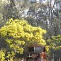Fringed Wattle (aka Brisbane Golden Wattle)