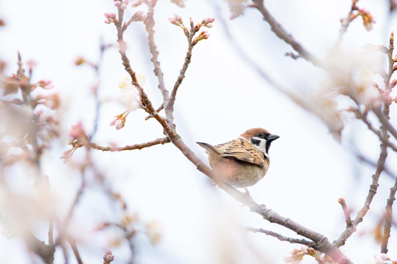 Photo: 「淡い春の訪れ」 / Visit of pale spring.  冷たい空気が 待ち焦がれた心と共に 周囲を静けさで包む 少し寂しい 淡い春の訪れ  sparrow. (スズメ)  Nikon D7200 SIGMA 150-600mm F5-6.3 DG OS HSM Contemporary  #birdphotography #birds #kawaii #小鳥 #nikon #sigma #小鳥グラファー  ( http://takafumiooshio.com/archives/1252 )