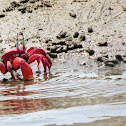 Red Ghost Crab
