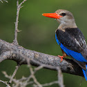 Grey-headed Kingfisher.