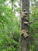 Photo: mushrooms on the tree