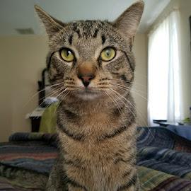 Corvo by Mary Hoffman - Animals - Cats Portraits ( grey cat, cat, tabby cat, novice, feline, kitty, photography )