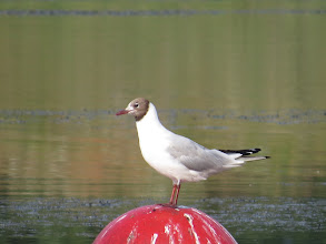 Photo: 18 Jul 13 Priorslee Lake: This adult Black-headed Gull is starting to lose the chocolate 'hood' quite quickly. Here you can see a gap in the folded wing feathers as these moult. (Ed Wilson)