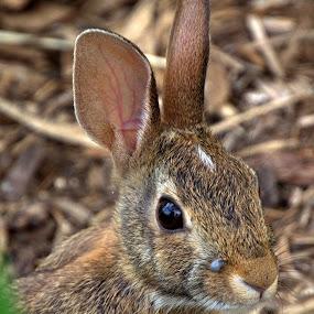 Garden Rabbit by Larry Bidwell - Animals Other (  )