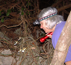 Photo: 2003 Ghost Orchids - Dendrophylax fawcettii, fragrant at night, grow on rocks or trees in the Ironwood Forest. The Giant Sphinx moth is the probable pollinator,  as it has a proboscis long enough to reach the nectar at the end of the long spur. May 1, 2003