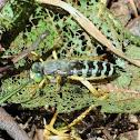 Bembix sand wasps