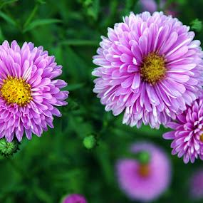 Flowers by Alexandru Lupulescu - Flowers Flower Gardens