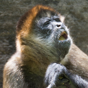 What was the question? by Jeri Curley - Animals Other Mammals ( spider monkey, mammal, monkey )