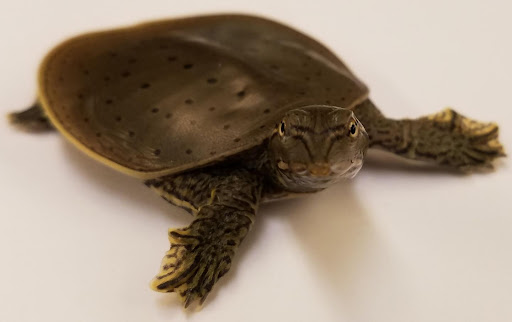 New study sheds light on function of sex chromosomes in turtles