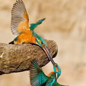 Kingfisher by Evžen Takač - Animals Birds ( wild, sex, czech republic, kingfisher, mating, birds, courtship )