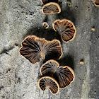 Anthracophyllum lateritium
