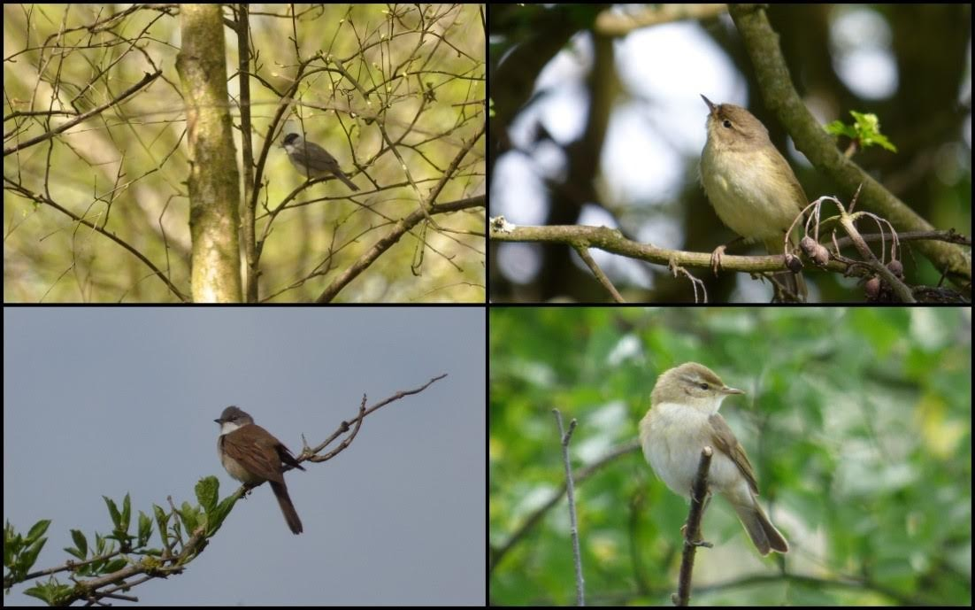 Blackcap, chiffchaff, willow warbler, whitethroat (clockwise from top left)