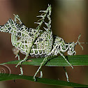 Esperança do Líquen (Lichen Katydid)