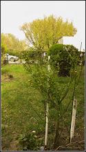 Photo: Trandafir Domnesc  (Kerria Japonica)        din Turda, Calea Victoriei, Nr. 98, spatiu verde  - 2019.04.08