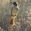 Ashthroated flycatcher