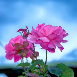 Pretty in Pink by Teza Del - Flowers Flower Gardens ( pink flower, roses )