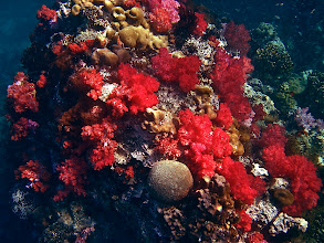 Photo: soft-coral-studded underwater rock, Koh Chabang