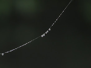 Photo: 21 Jun 13 Priorslee Flash: Anyone got a biology degree? why can different parts of a spider thread support different-sized water droplets? (Ed Wilson)