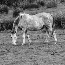 Horse by Garry Chisholm - Black & White Animals ( horse, mare, nature, mammal, garry chisholm )