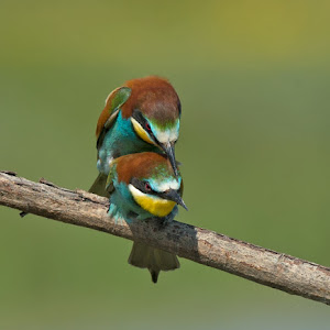 D:\01 GALERIJA FOTO\01 ptice\Čebelar - Rumenogrli čebelar - Merops apiaster\pixoto 2015\Merops-apiaster-352.jpg