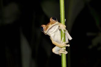 Photo: Leptopelis tree frog