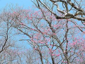 Photo: 前日までの強風で花も落下 アカヤシオ