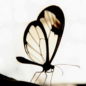 transparent wings  by Stephanie Veronique - Uncategorized All Uncategorized ( butterfly, nature, wings, silhouette, tropical, fragile, insect, transparent, garden, close up,  )