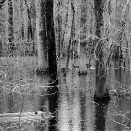 Duck in flooded woods by Peggy LaFlesh - Black & White Landscapes ( duck, woods, flooded,  )