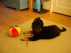 Photo: Luna als pup, ook haar oren staan snel