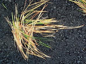 Photo: Fallen needles, Mt Tam