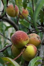 Photo: Peaches -  Monastere de Jassoneix, Meymac, Correze
