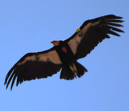Photo: California Condor #70