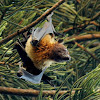 Indian flying fox or the greater Indian fruit bat