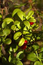 Photo: Lignin berry
