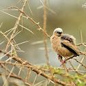 Weaver  -  Grey-capped Social Weaver