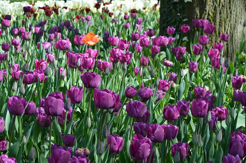 Messer Tulipano di Alessandra-Valivano