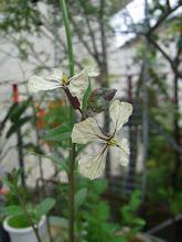 Photo: 「ルッコラ」のお花