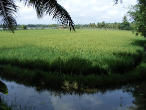 Photo: The rice paddy behind the resort
