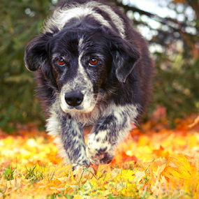 On The Hunt by Bari Spears - Animals - Dogs Running ( collie, walking, color, colorful, fall, leaves, dog,  )