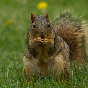Squirrel Eating A Seed by Keith Lowrie - Animals Other Mammals ( fox squirrel, squirrels, small mammals, rodent, brown squirrel, squirrel )
