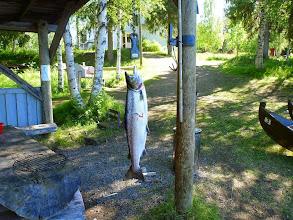 Photo: Lohi 5,96kg tornionjoki2012 special 65mm.