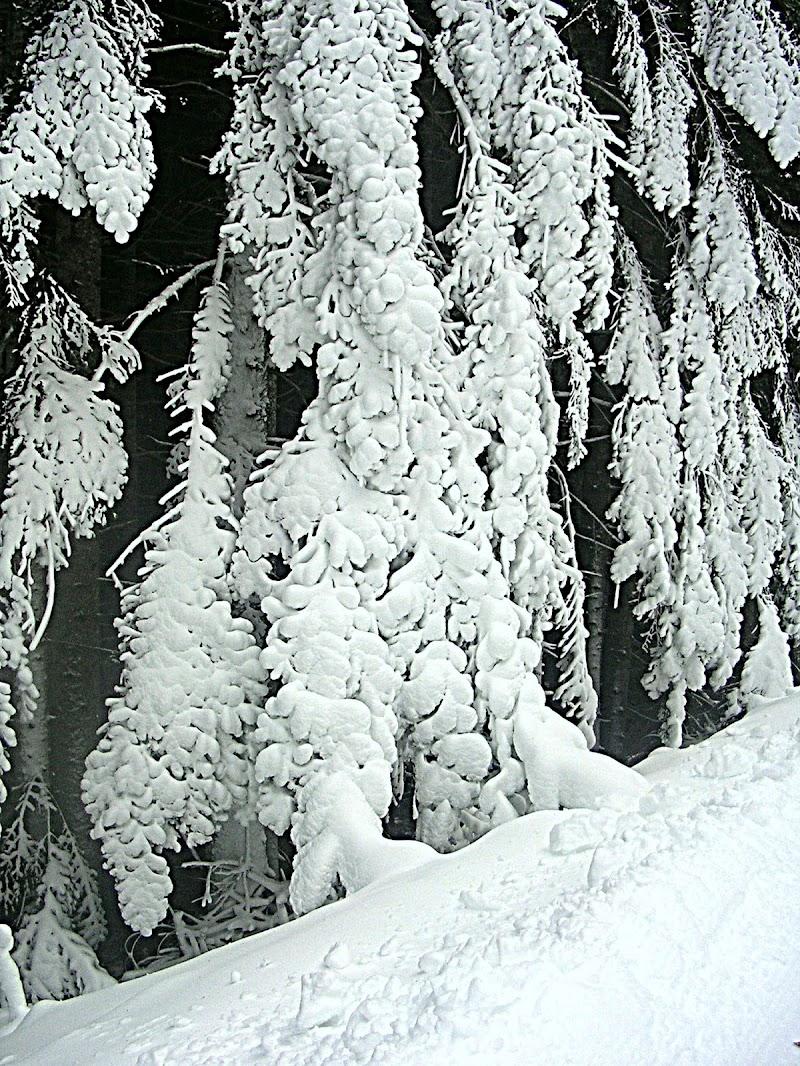 Bosco d'inverno di bereza