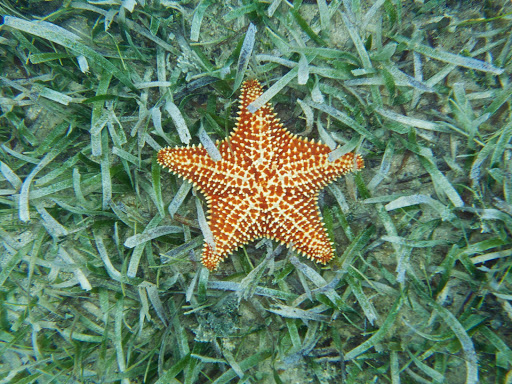 sea-star-virgin-gorda.jpg - A cushion sea star in Virgin Gorda in the British Virgin Islands.