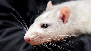 Giggling Rats thumbnail