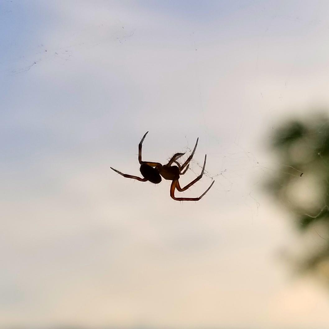 Triangulate bud spider (♂)
