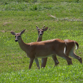 Doe and Buck by Anita Frazer - Animals Other Mammals ( mammal, animal, white tail deer, doe )